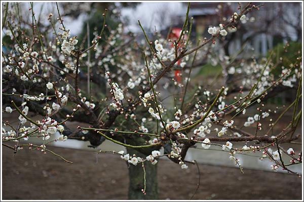 近所のに咲いていた梅をレンズの絞り値を変えながら撮影 Photo by PENTAX K-3