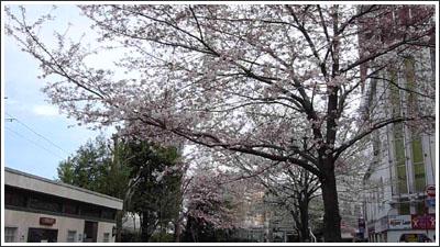 風に揺れる池袋の桜