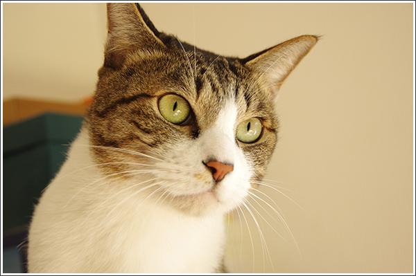 やっぱりキッドは男前な猫ですね Photo by PENTAX K-3