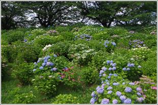 県営権現堂公園 幸手権現堂桜堤の紫陽花